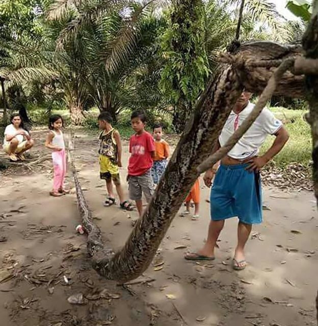 This handout picture taken on 30 September 2017 and released on October 4, 2017 by the Batang Gansal Police shows villagers beside a 7.8 metre (25.6 foot) long python which was killed after it attacked an Indonesian man, nearly severing his arm, in the remote Batang Gansal subdistrict of Sumatra island.