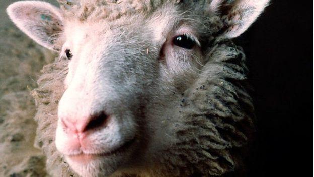 Cừu Dolly là động vật có vú đầu tiên được nhân bản vô tính cách đây 20 năm