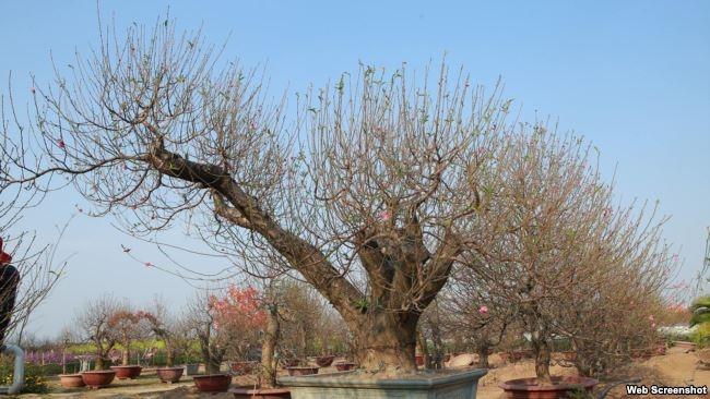 Vườn đào Hiệp Vụ, Hà Nội (Ảnh: Hiệp Vụ)