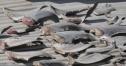 Quanh vụ Đại sứ quán Việt Nam tại Chi Lê phơi vi cá mập trên mái