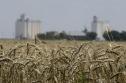 Lúa mì Nga nhập vào Việt Nam bị nghi nhiễm khuẩn